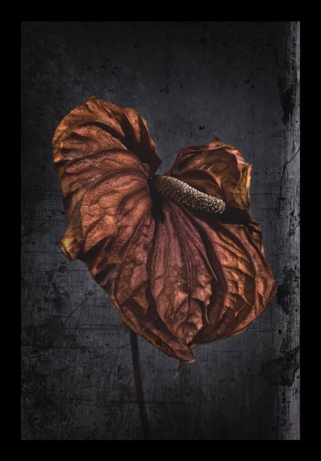 Anthurium andreanum--_FGO*