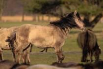 CHK-Wildpferde2_#