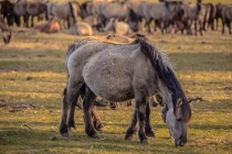 CHK-Wildpferde1_#