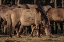 CHK-Wildpferde4_#