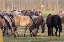 CHK-Wildpferde6_#