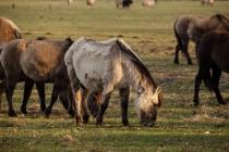 CHK-Wildpferde7_#