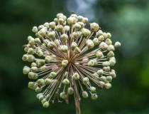 Allium-White-Giant_1