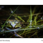 Frosch - Christoph Haverkamp